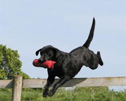 hund mit dummy springt über zaun
